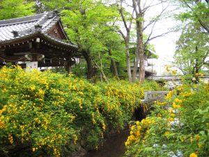 松尾大社「山吹」と   一休さんゆかりの地蔵院を訪ねて